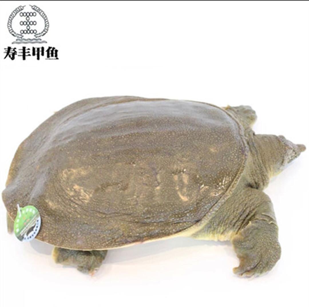 寿丰原生态甲鱼200g放养健康生长无公害滋补强身鲜活2年中华鳖